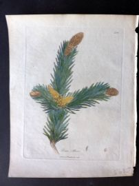 Woodville Medical Botany 1790's Hand Col Print. Pinus Abies. Norway Spruce